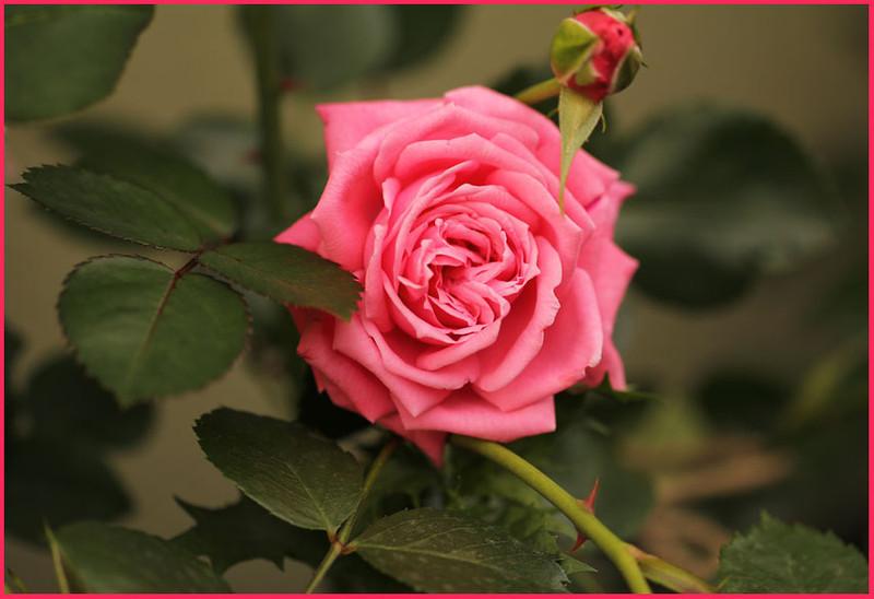 Offspring of Rose 'Blossom Time'
