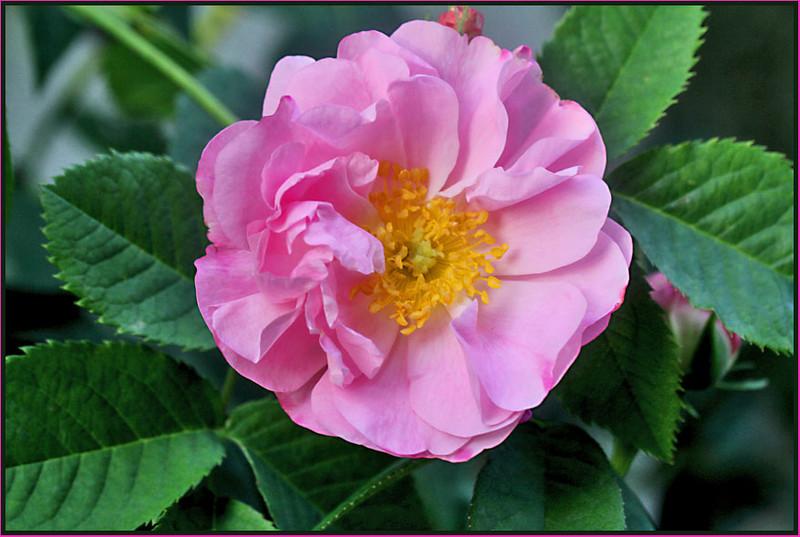Rose 'Celestial'