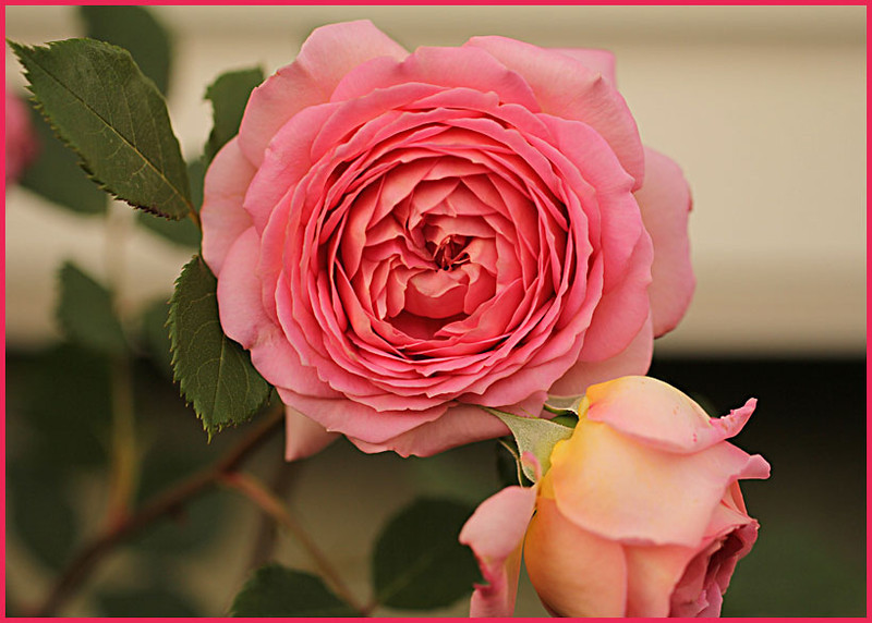 Rose 'Jubilee Celebration'