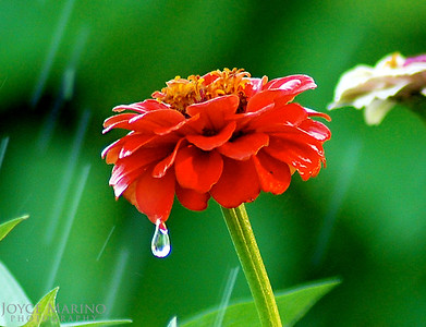 Zinnias in the rain -- DSC_0009