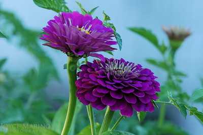 Purple Zinnia DSC_0040