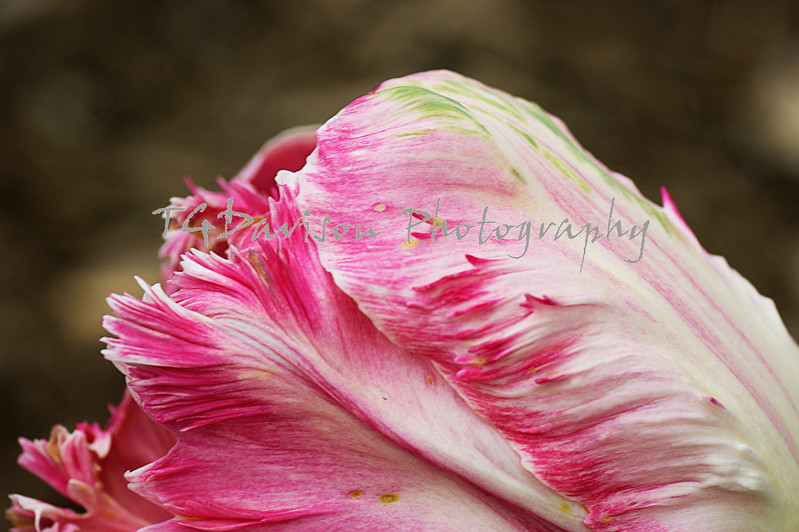 close-up of the side of a pink ruffled tulip