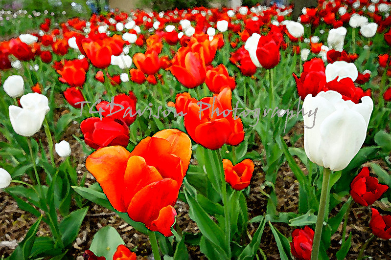 a bouquet of red and white tulips