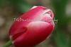 smooth, elegant petals of the classic pink tulip