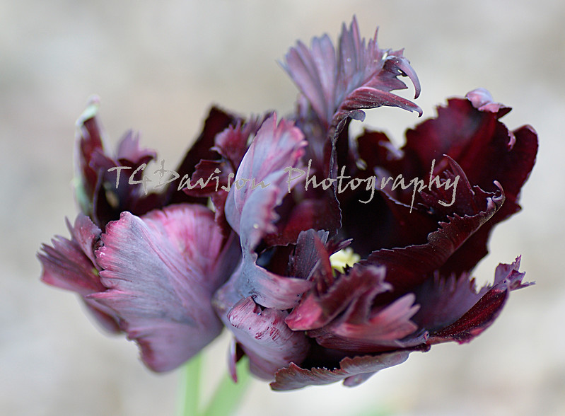 shades of plum and grape in the wild petals of a rare double tulip set against a light background