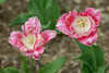 two pink ruffled tulips
