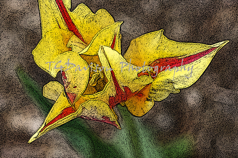 pen and ink depiction of yellow double tulip