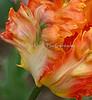 fantasy parrot tulip