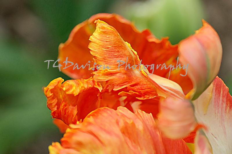 orange ruffly petals of the parrot tulip