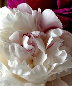 White w/pink Peony