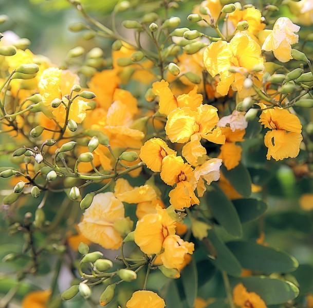Lemon Drops and Buds