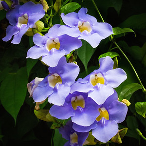 Bengal Trumpet Vine Flowers