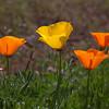 Poppies 0813