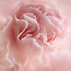 clove pink ...