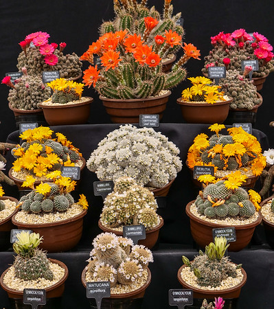 Colorful cacti