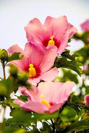 pink rose of sharon-7756