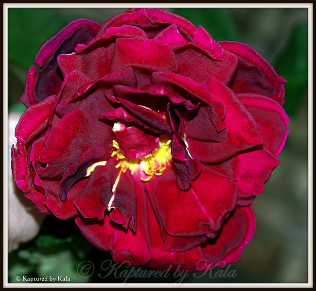 Last Rose of Summer, the Beauty of the Ages, the Wisdom of Maturity