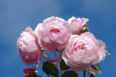 Shropshire Lad rose