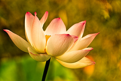 Lotus in Morning Light