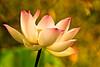 Lotus in Morning Light