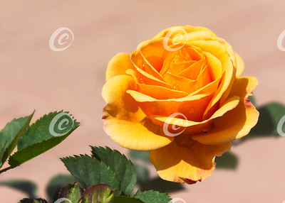 Dewdrops on an Orange Miniature Rose Flower
