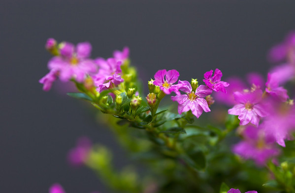 mexican heather nice
