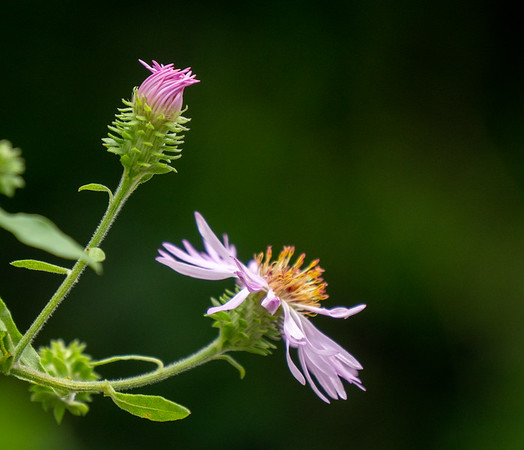 aster bud blossom