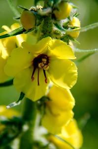 Agrimonia eupatoria - Common Agrimony, Church Steeples or Sticklewort