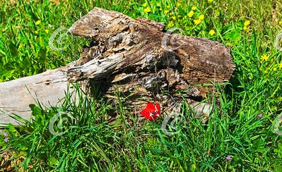 Eucalyptus Log, Wildflowers and Grass