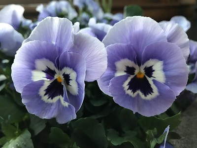 Purple Pansy Pair