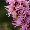 Liatris Flower with Dew Drop #283