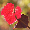 Grape Leaves, Hahn Winery