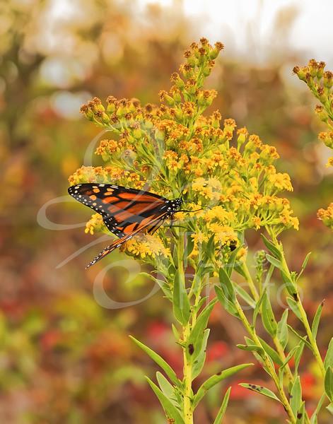 TLD_Fall Butterfly