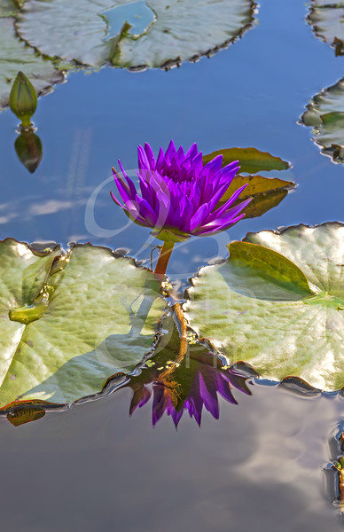TLD_Purple Water Lily vertical