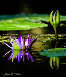 Water lily. XIII