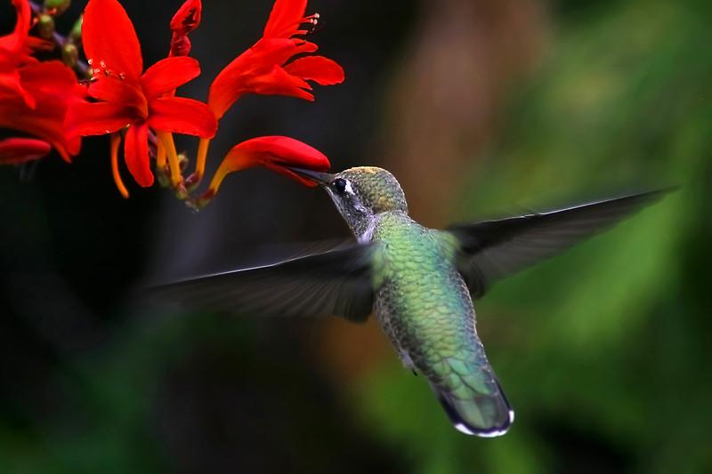 19 2x12 8 hummingbird copy ( For canvas )