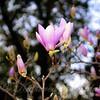 Saucer Magnolia Blossoms