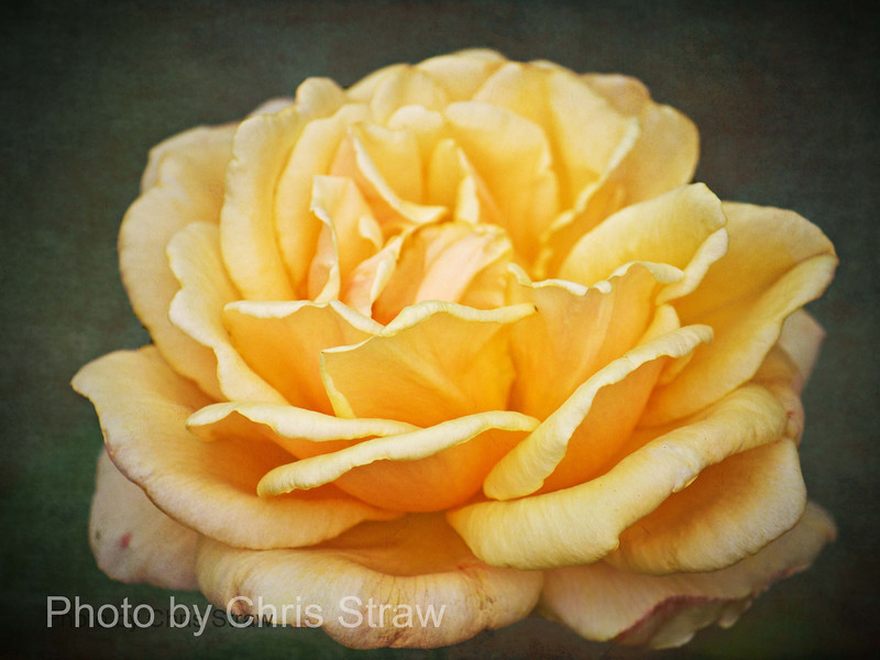 yellowrosecloseup
