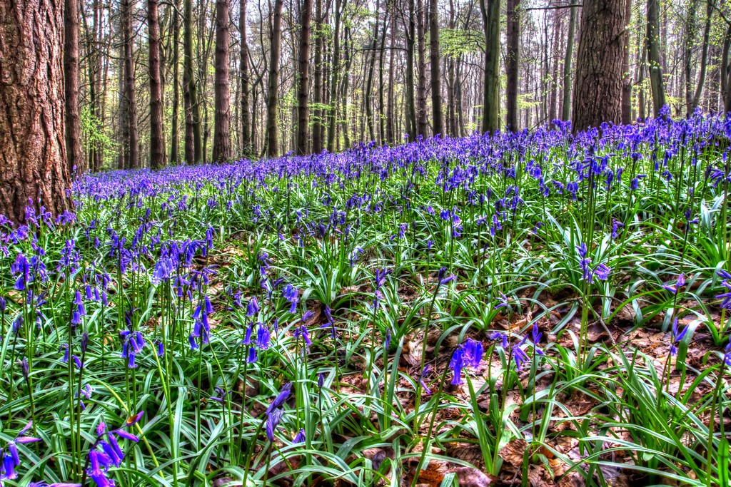 Blue Bell Wood 6