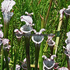 White Topped Pitcher Plants.