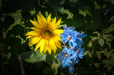 Sunflower and delphinium