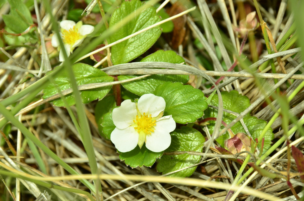 Rosaceae -  Fragaria chiloensis - Beach Strawberry, Coast Strawberry