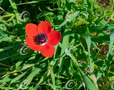 Red Crown Anemone and Grass