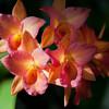orange-pink orhcid