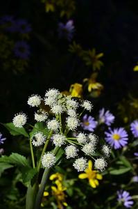Apiaceae -  Angelica arguta - Lyall's Angelica