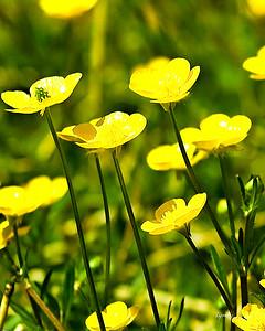 Yellow Fiels