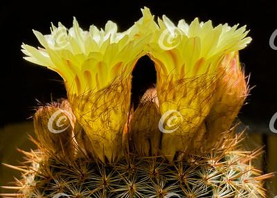 Backlit Profile of Two Bright Yellow Parodia erubescens Ball Cactus Flowers