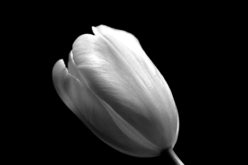 Tulip 4