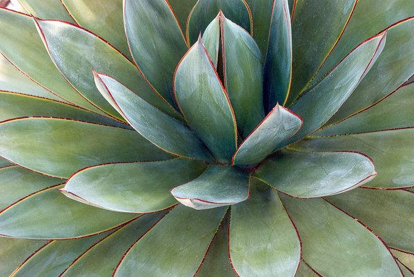 Blue Glow Agave