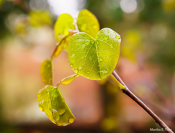 Redbud Leaves With Raindrops